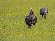 Two wild turkeys in field of yellow wildflowers. Stock Image