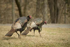 Two wild turkeys hunting for food. Royalty Free Stock Photos
