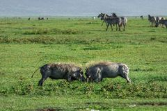 Two wild warthogs fighting in the grass. stock photos