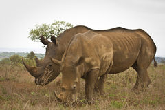 Two wild white rhinoceros eating grass , Kruger National park, South Africa Stock Photos