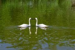 Two wild white swans swiming. In the lake with green water together kissing with love in the Novosibirsk zoo, Russia Stock Photos