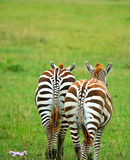 Two wild zebras. Africa. Kenya. Lake Nakuru royalty free stock photos