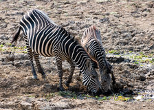 Two wild zebras drinking water Stock Images