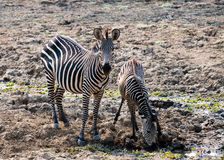Two wild zebras drinking water Stock Image