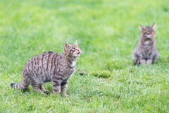 Two wildcat kittens Stock Images
