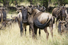 Two wildebeest close-up. Two wildebeest standing head to head in the high grass Royalty Free Stock Photography