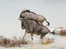 Two wildebeest splashing in lake  Stock Image