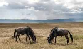 Two wildebeest in Tanzania Royalty Free Stock Photos