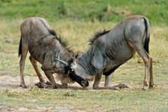 Two Wildebeests Stock Photo