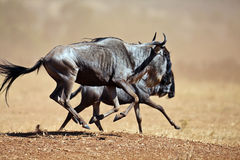 Two wildebeests running through the savannah. Masai Mara Game Reserve, Kenya Royalty Free Stock Image