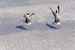 Two Willet Sandpipers Ready for Flight Stock Image