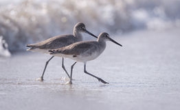 Two Willets in the Surf Royalty Free Stock Photo