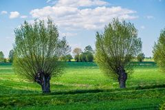 Willows and agriculture field or meadow. Two willow near a small canal and meadows in agriculture area of Zulawy Elblaskie, northern Poland. Blue sky, white royalty free stock photography