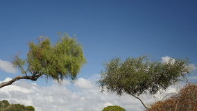 Two willow tree against blue sky. Two willow tree in waving in slow motion against blue summer clear sky stock footage