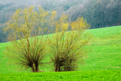 Two willow trees Stock Photo