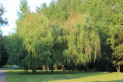 Two willows. Stock Photos