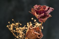 A two wilting rose on dark background Stock Photography