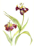 Two wilting tulips, watercolor sketch, isolated Royalty Free Stock Photography