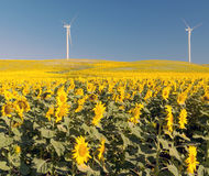 Two windmills in a sunflowers fields Stock Images