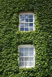 Two Windows. Windows with green ivy Royalty Free Stock Photo