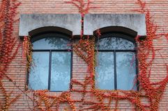 Windows with Fall ivy. Two windows with colorful ivy in fall royalty free stock images