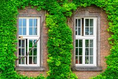 Two windows and a dense vine. On a brick wall Stock Image