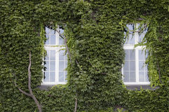Two windows and old wall covered in ivy leaves. An old house with its two windows and its walls covered in ivy leaves royalty free stock photos