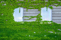 Two windows in the vines Stock Photography