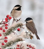 Two Winter Black- Capped Chickadees