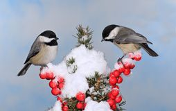 Two Winter Black- capped Chickadees Royalty Free Stock Image