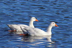 Two Winter Geese royalty free stock photos