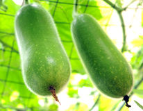 Two winter melon Stock Photography