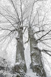 Two winter trees Stock Photography