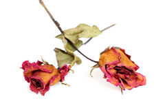 Two withered roses over white background Stock Photo