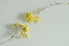 Two withered yellow flowers reaching for each other Stock Image