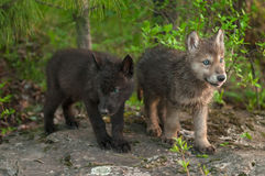 Two Wolf (Canis lupus) Pups Stand on Rock Stock Photography