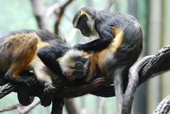 Two Wolf`s Mona Monkeys Grooming Each Other on a Branch. Wolf`s mona monkeys grooming each other while resting on a branch stock images