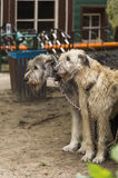 Two wolfhound Stock Images