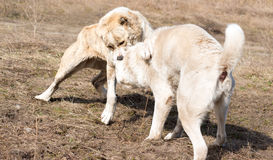 Two wolfhounds are fighting on dog fights. Stock Photos