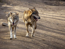 Two wolfs Stock Image