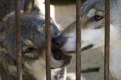 Two wolfs. Two wolves in a zoo Royalty Free Stock Photos