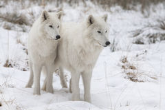 Two wolfs Stock Photography