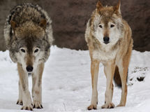 Two wolfs on the snow landscape Stock Photos