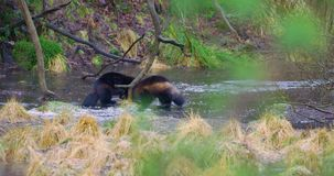 Two wolverine animals play on frozen water in the woods. Two playing wolverines fights on frozen water in the forest in the early winter or late autumn. Running stock footage