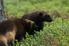 Two Wolverine cubs Royalty Free Stock Images