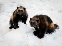 Two wolverines, gulo gulo, with snow and white background stock photos