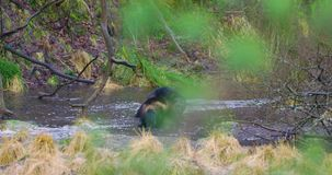 Two wolverines runs and plays on frozen water in the forest. Two playfull wolverines fights on frozen water in the forest in the early winter or late autumn stock video