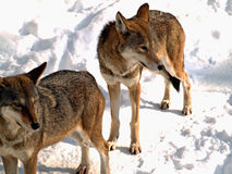 Two wolves. In winter from a high advantage point Royalty Free Stock Image