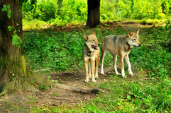 Two wolves. A couple of wolves in the wild stock images