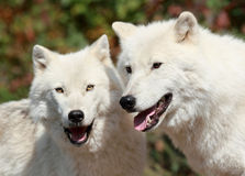 Two wolves. Arctics wolves in nature during autumn royalty free stock photo